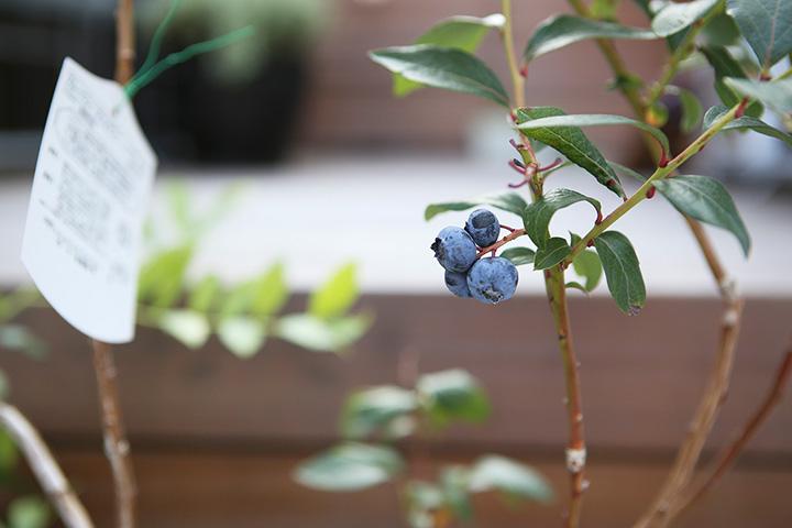 ブルーベリーを収穫しました!(収穫のできる庭)
